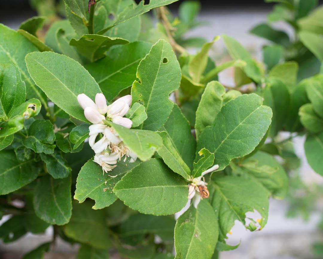 lemon tree flowers