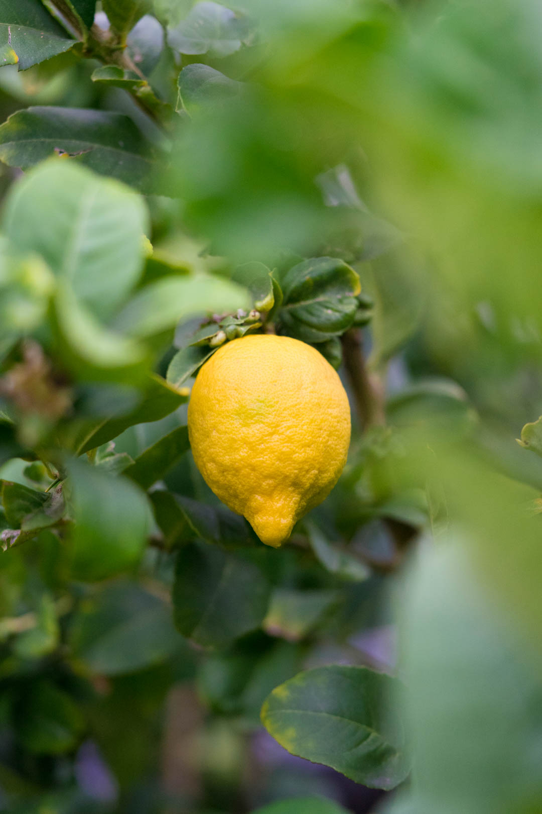 a yellow lemon on a lemon tree