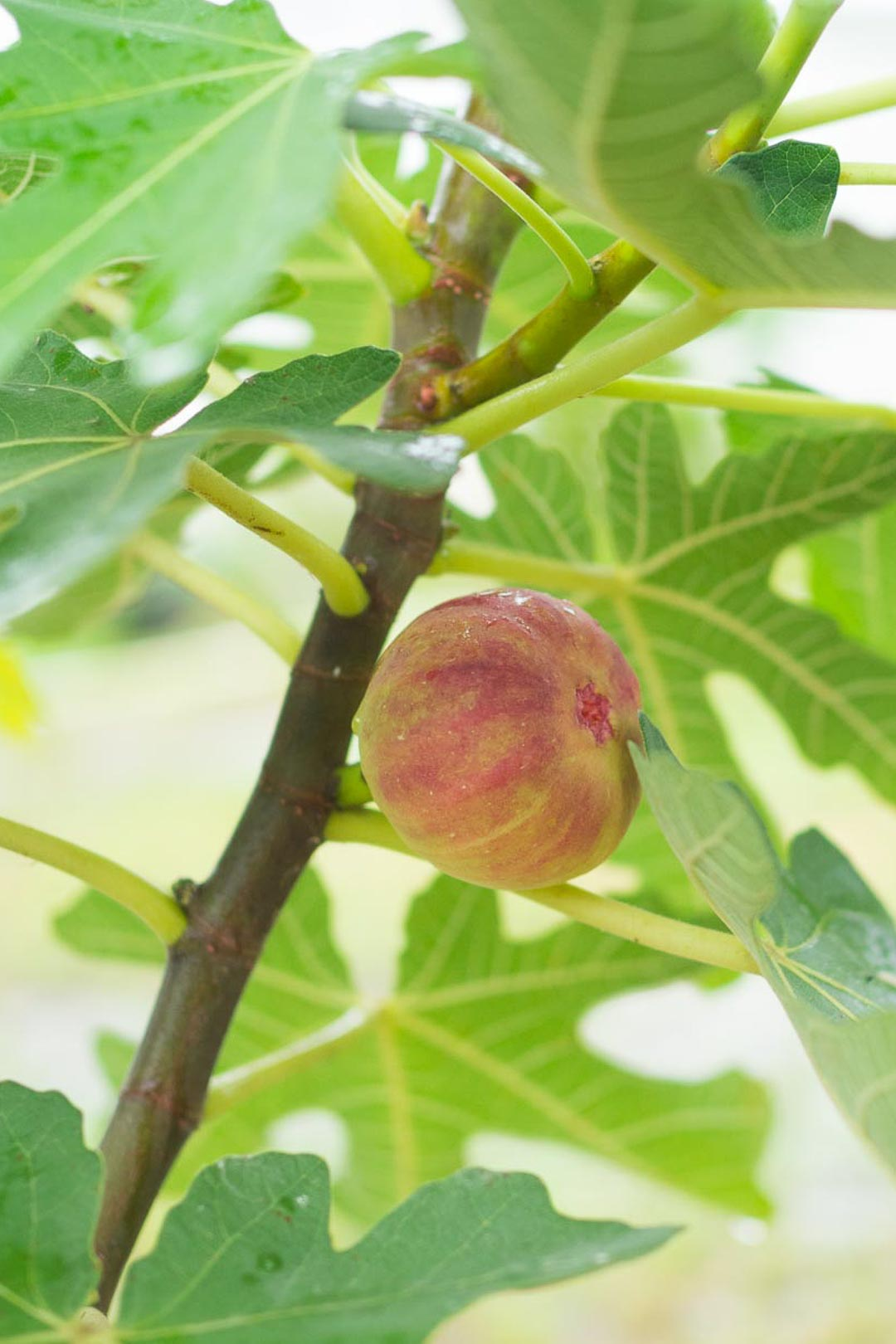 a ripe fig on a fig tree