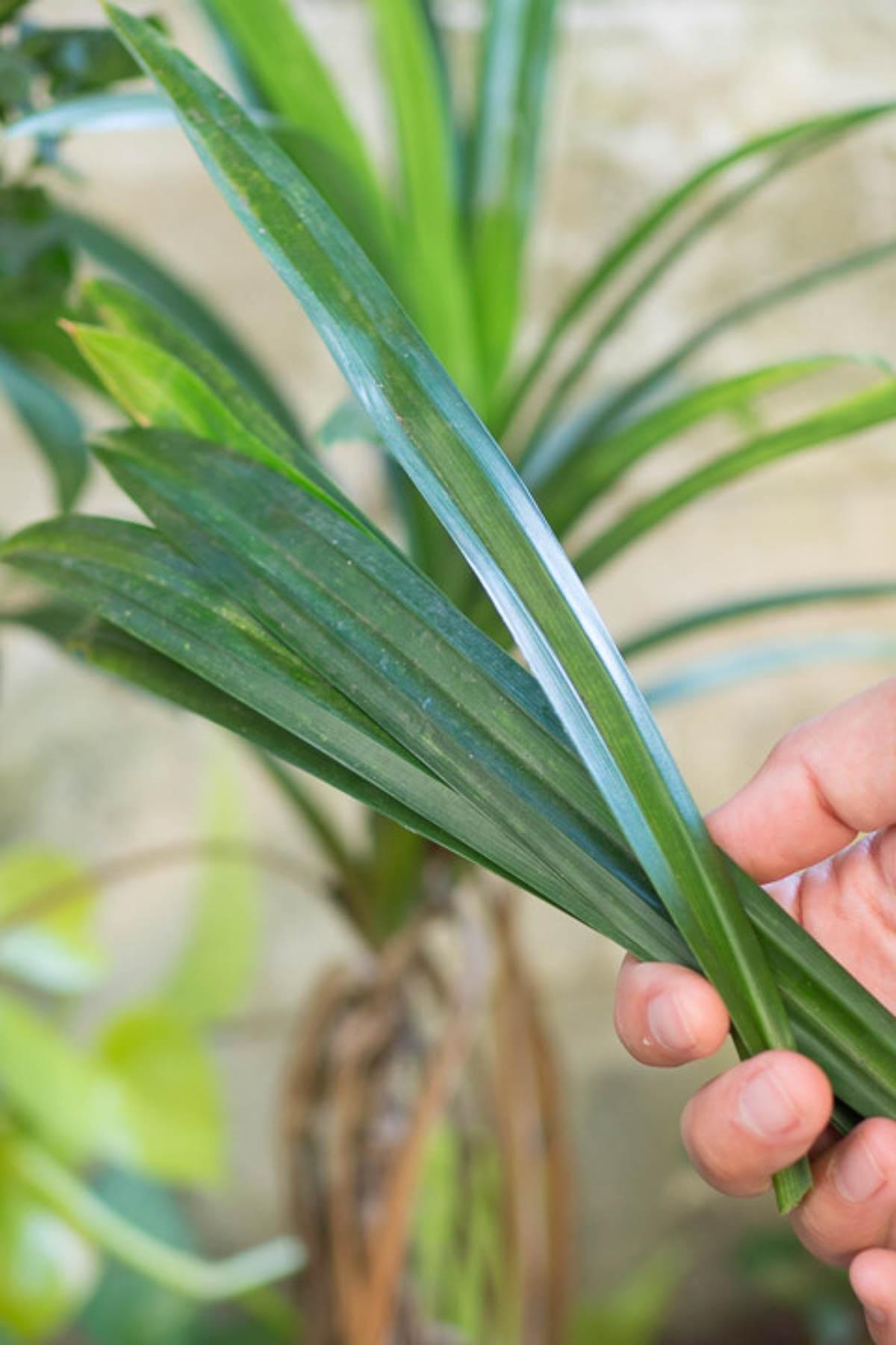 pandan leaves being held in a hand